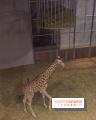 Les girafons du Zoo de Paris