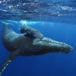Baleines, le nouveau film de la Géode !