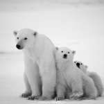 Ours, l'expo photo de Vincent Munier au Jardin des Plantes