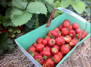 cueillette des fraises