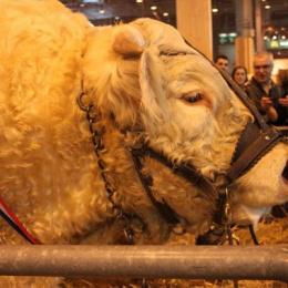 Album photos salon de l 39 agriculture for Vache salon de l agriculture