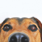 Covid : bientôt des chiens renifleurs pour détecter le Coronavirus en Île-de-France ?