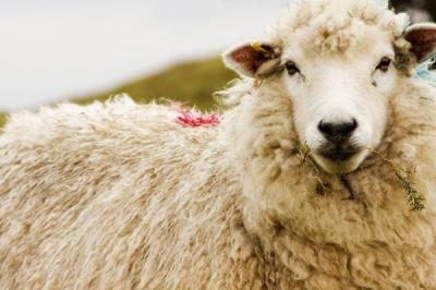 tonte des moutons à la ferme de paris