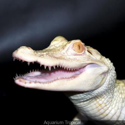alligators albinos à l'aquarium de paris