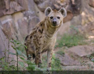 Hyènes à Thoiry