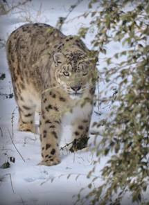 tigre, zoo de thoiry