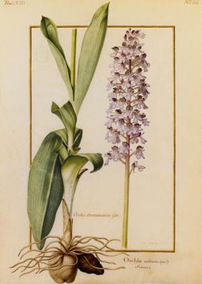 Orchidées sur Vélins au Muséum national d'Histoire naturelle