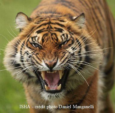 La jeune tigresse ISHA