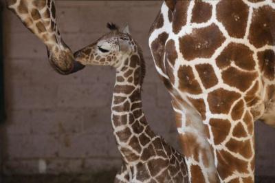 """Visite guidée pour les enfants de l'exposition """"la véritable histoire de la girafe Zarafa"""""""
