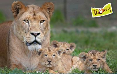 Trois petits lionceaux sont nés au zoo de Thoiry !